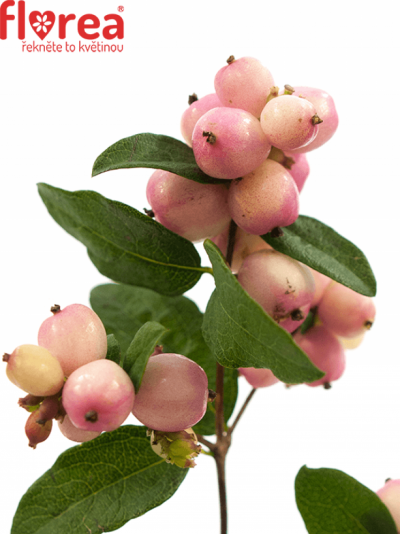 SYMPHORICARPOS MAGICAL CHARMANT FANTASY 50cm