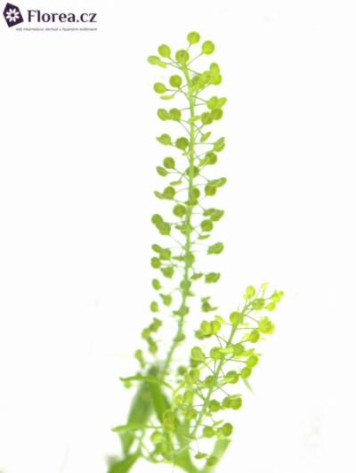 THLASPI GREEN BELL 65cm/20g