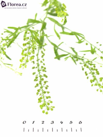 THLASPI GREEN BELL 70cm/20g