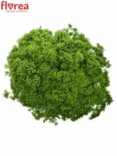 Trachelium BRIBA GREEN 40CM