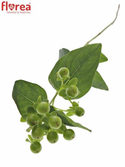 HYPERICUM MAGICAL GREEN REVELA 40cm