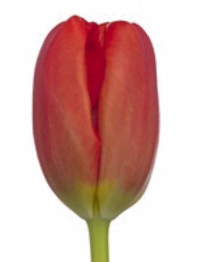 Tulipán EN FERRARI 38cm/36g