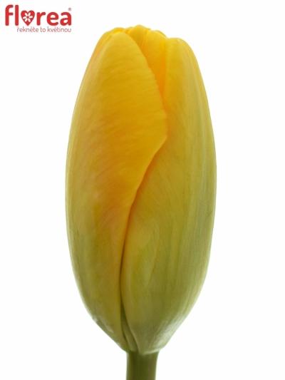 Tulipán EN GOLDEN APELDOORN 35g