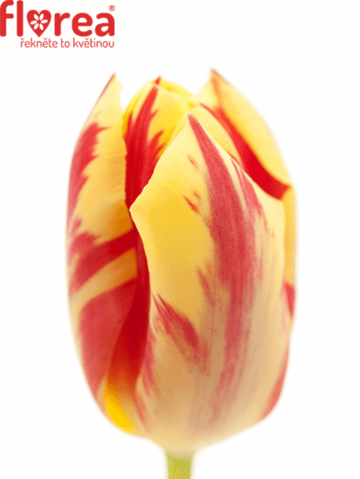 TULIPA EN GRAND PERFECTION 35cm/26g