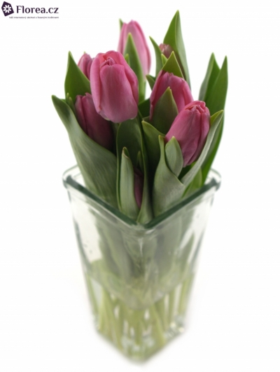 Tulipa EN RED MARK