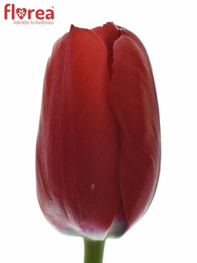 TULIPA EN RUBY RED 30cm/20g