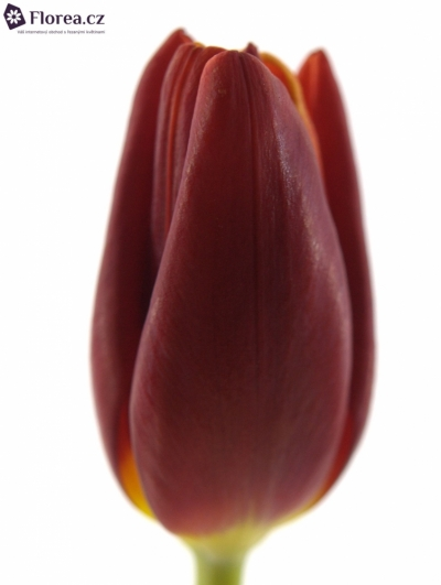 Tulipán EN ABRA 35cm/27g