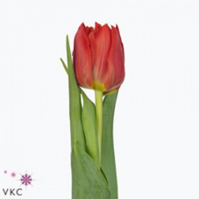 Tulipán DU ABBA