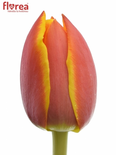 Tulipán DU CROSSFIRE