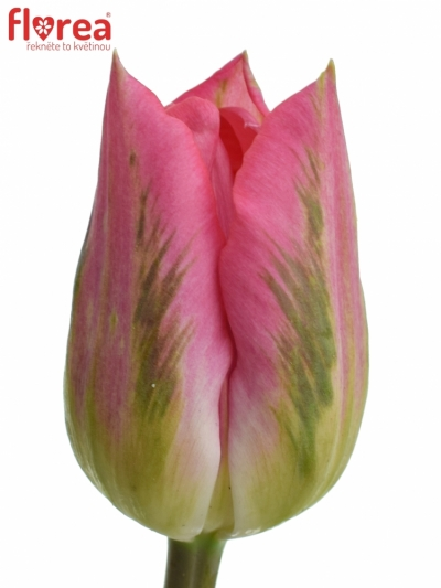 Tulipán DU DALADIER 40g