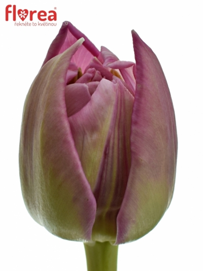 TULIPA DU DOUBLE PRINCES 35cm/25g