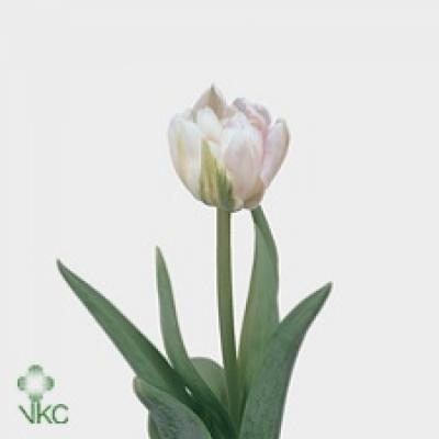 Tulipán DU FINOLA
