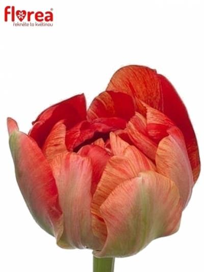 Tulipán DU GUDOSHNIK DOUBLE