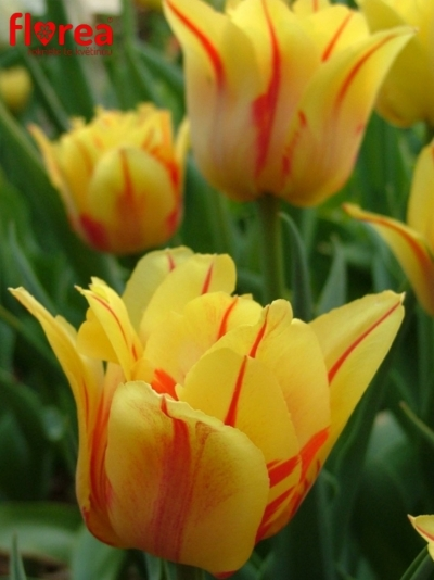 Tulipán DU MONSELLA 34cm/25g