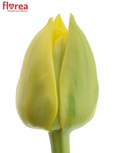 Tulipán DU NIKON
