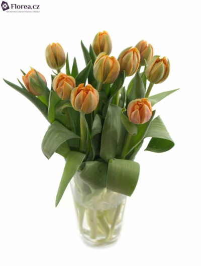 TULIPA DU ORANGE PRINCESS 35g