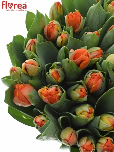 Tulipán DU QUEENSDAY