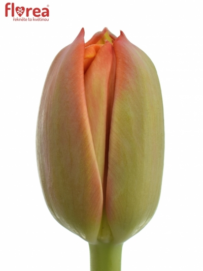 Tulipán DU QUEENSDAY 40cm/60g