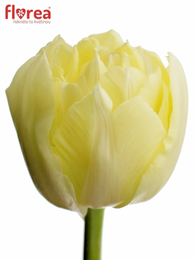 Tulipán DU VERONA 36cm/24g