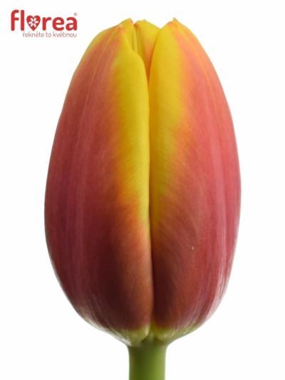 Tulipán EN ANDRE CITROEN