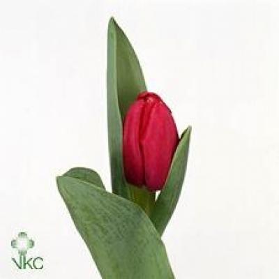 Tulipán EN ANNACONDA