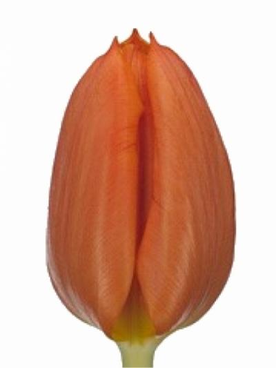 Tulipán EN ANNIE SCHILDER 35cm/25g