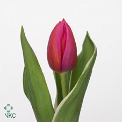 Tulipán EN APHRODITE