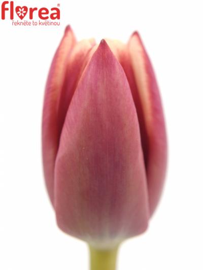 Tulipán EN ARMANI 35cm/30g
