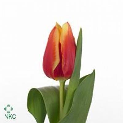 Tulipán EN BOLROYAL HAPPY