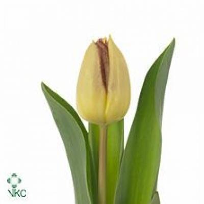 Tulipán EN BOSTON