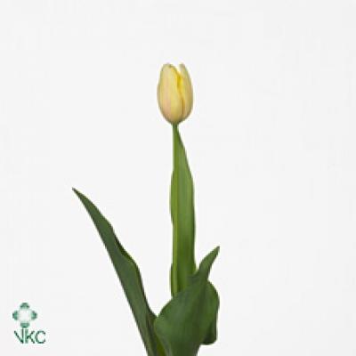 Tulipán EN CAMARGUE