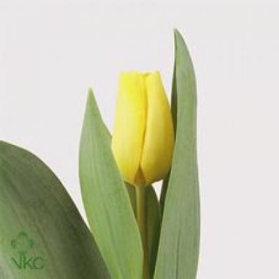 Tulipán EN CARACTERE