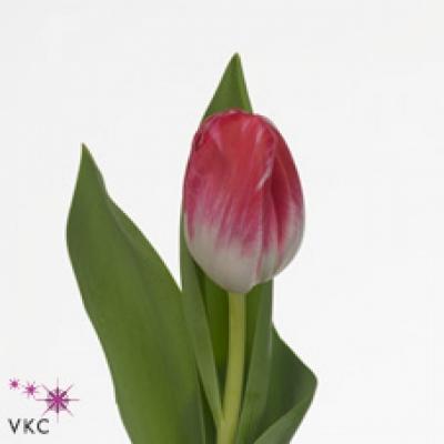 Tulipán EN CARAMBA