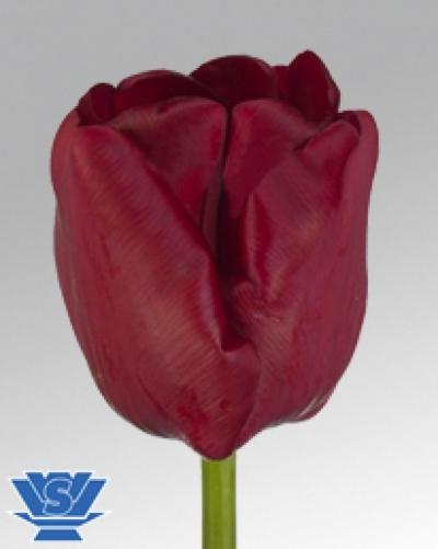 Tulipa EN CINCINNATI 28cm/24g