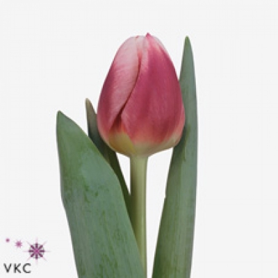 Tulipán EN CRACKER