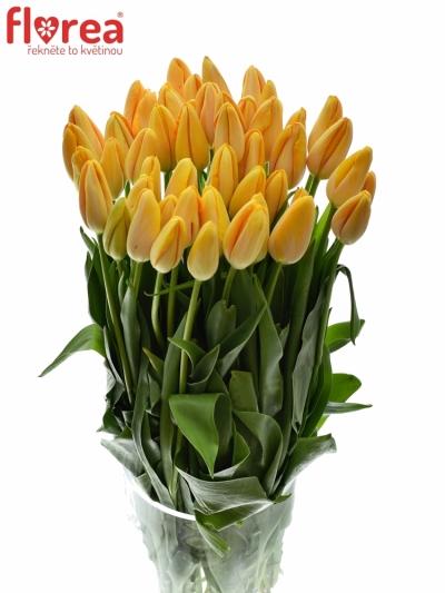 Tulipán EN DORDOGNE 65cm/78g