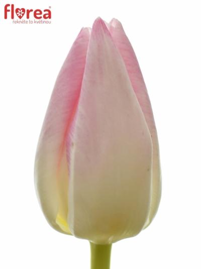 Tulipán EN FIRST CLASS