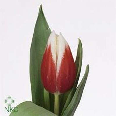 Tulipán EN FULL HOUSE