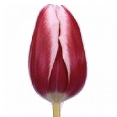 Tulipán EN FURAND 30g