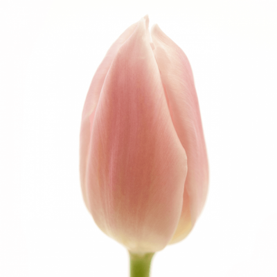 Tulipán EN GABRIELLA 38cm/27g