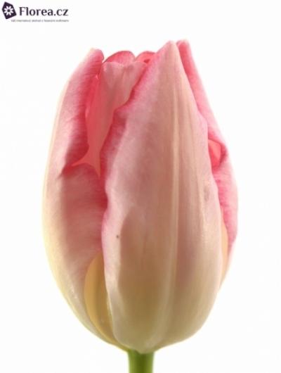 Tulipán EN GANDERS RHAPSODY 25g