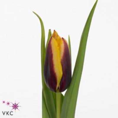 Tulipán EN GAVOTA