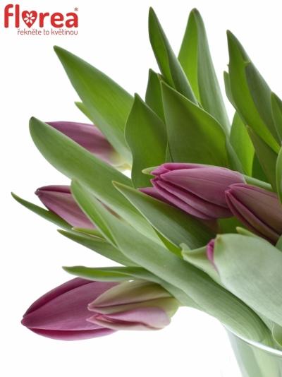 Tulipán EN HUSTVILLE 20g