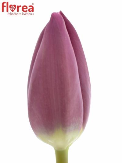 Tulipán EN HUSTVILLE 24g