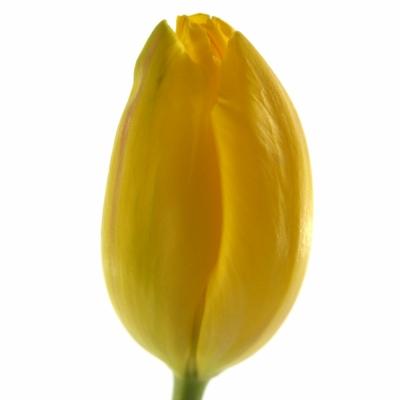 Tulipán EN LA COURTINE