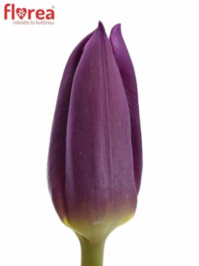 Tulipán EN LAPTOP 28g