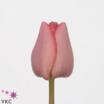 Tulipán EN LASERGAME