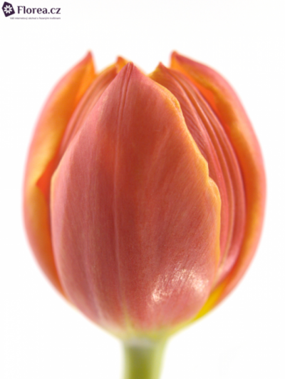 Tulipán EN LAURA FYGI