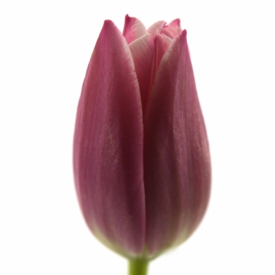 Tulipán EN LEO VISSER