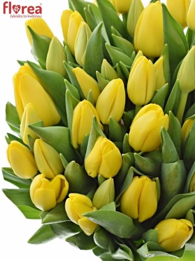 Tulipán EN NOVI SUN